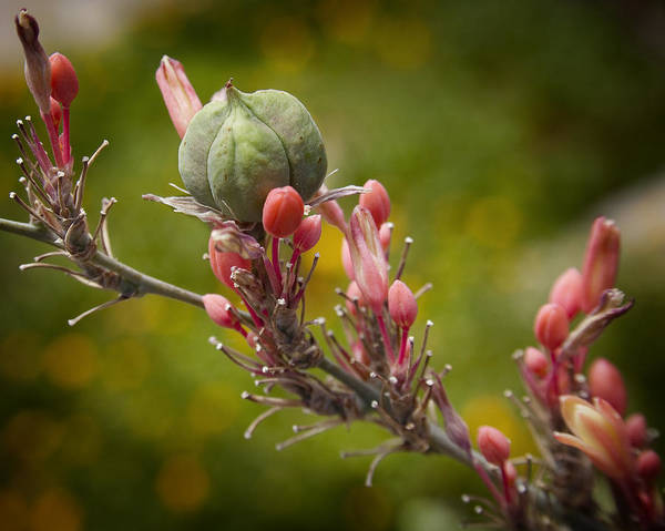 Seed Pods Art Print featuring the photograph Desert Seed Pod 2 by Kelley King