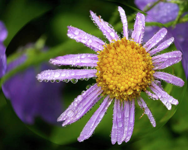 Beauty Art Print featuring the photograph Dewy Mauve Daisy by Crystal Garner