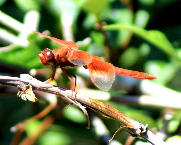 Dragonfly Art Print featuring the photograph Dragonfly by Ellen Lerner ODonnell