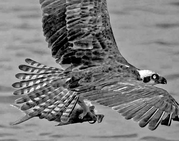 Pelican Art Print featuring the photograph Flight Of The Osprey Bw by Michael Thomas