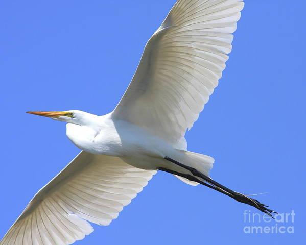 Bird Migration Art Print featuring the photograph Great White Egret In Flight . 40d6850 by Wingsdomain Art and Photography