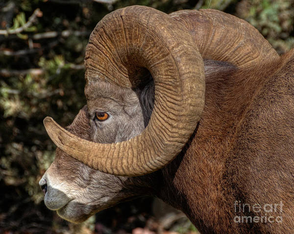 Radium Hot Springs Art Print featuring the photograph Heavy Horns by James Anderson