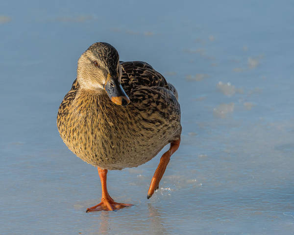 Duck Art Print featuring the photograph Hey There by Yeates Photography