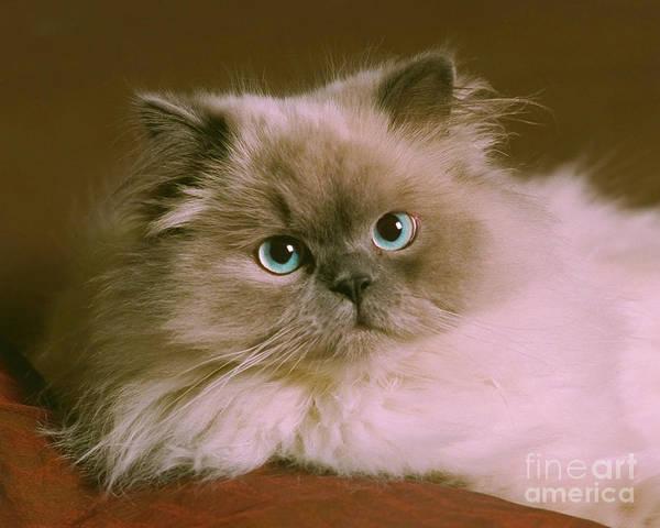 Animal Art Print featuring the photograph Himalayan Cat by Crystal Garner