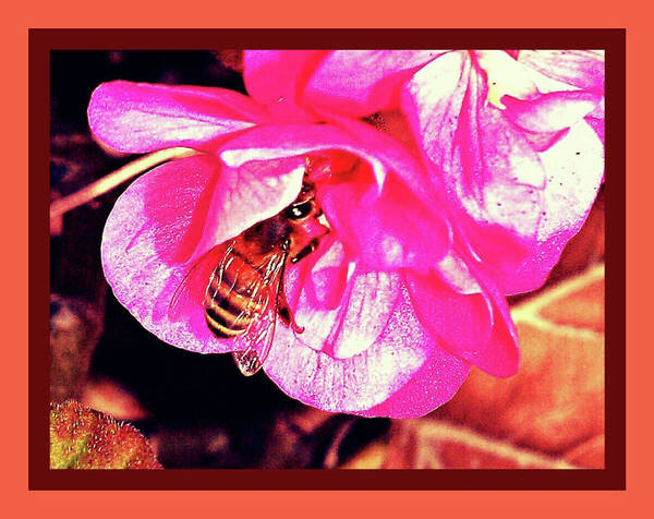 Honey Bee In A Pink Flower Art Print featuring the photograph Honey Bee In A Pink Flower by Shirley Anderson
