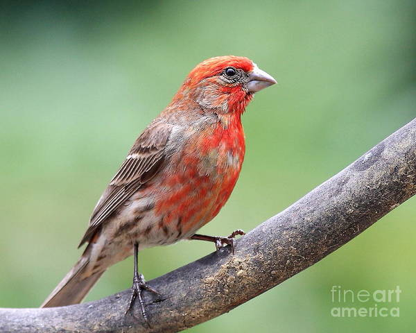 Wildlife Art Print featuring the photograph House Finch by Wingsdomain Art and Photography
