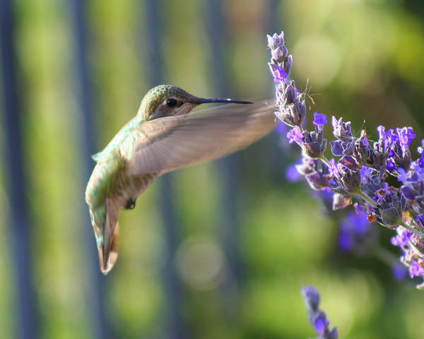 Hummingbird Art Print featuring the photograph Hummer by Kerry Reed