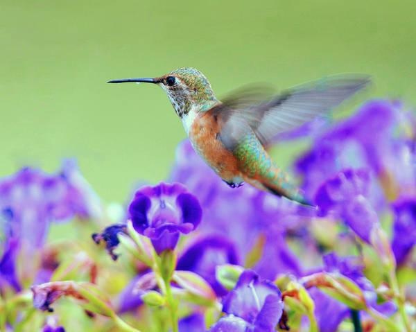Hummingbird Art Print featuring the photograph Hummingbird Visiting Violets by Laura Mountainspring