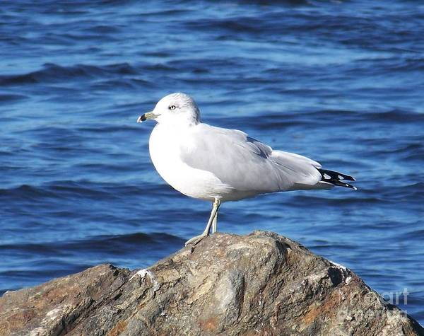 Seagull Art Print featuring the photograph I Am A Rock Star - Photograph by Jackie Mueller-Jones