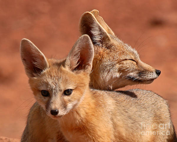 Fox Art Print featuring the photograph Kit Fox Pup Snuggling With Mother by Max Allen