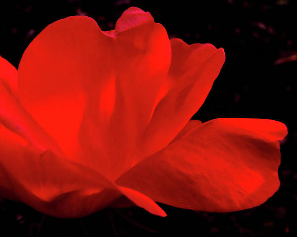 Rose Art Print featuring the photograph Knockout by Peg Urban