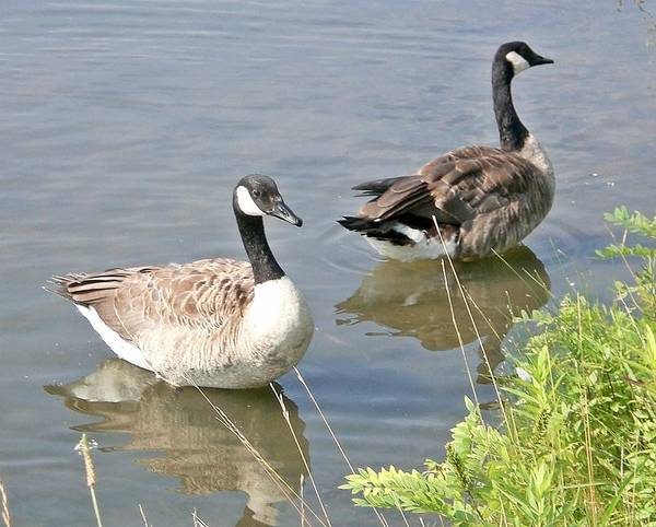Geese Art Print featuring the photograph Life Is Good For Canadian Geese by Sholeh Mesbah
