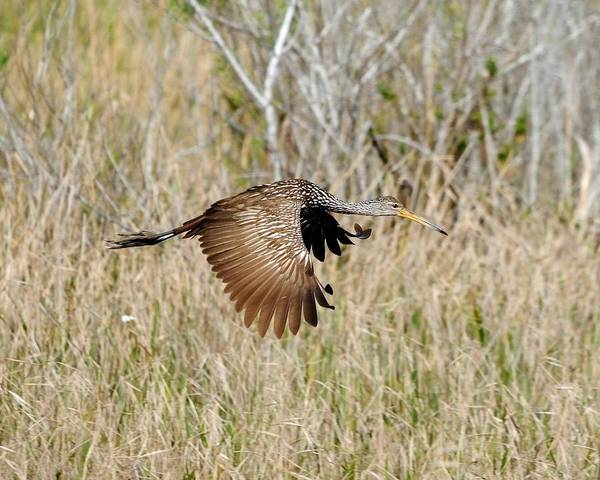 Limpkin Art Print featuring the photograph Limpkin In Flight by John R Young Jr