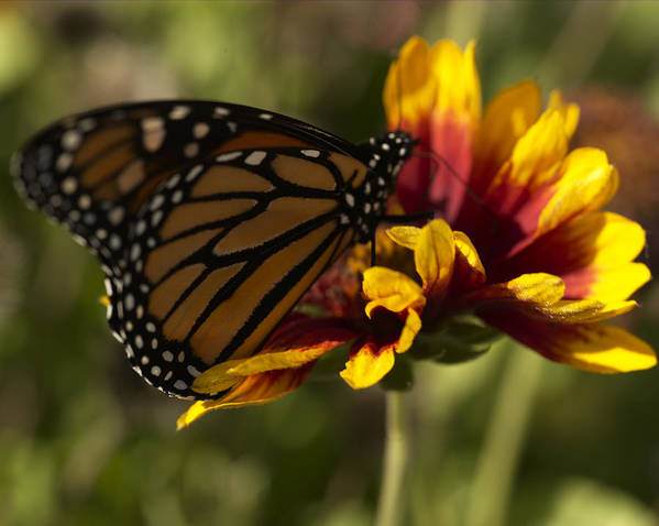 Butterfly Art Print featuring the photograph Monarch Butterfly by Jessica Wakefield