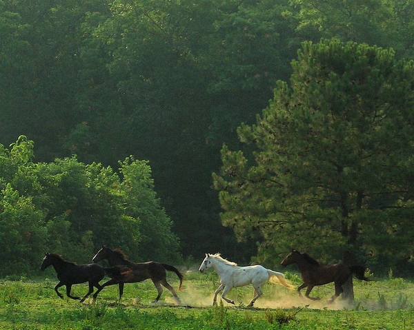 Horses Running Art Print featuring the photograph Morning Romp by Rebecca McAllister