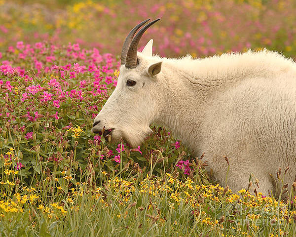 Mountain Goat Art Print featuring the photograph Mountain Goat In Colorful Field Of Flowers by Max Allen