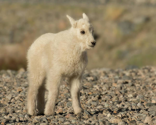 Mountain Goat Art Print featuring the photograph Mountain Goat Kid by Lois Lake