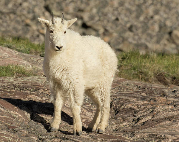 Mountain Goat Art Print featuring the photograph Mountain Goat Yearling by Lois Lake
