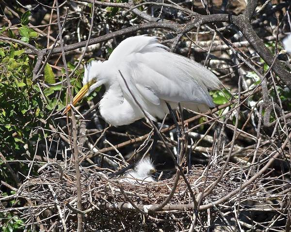 Nest Art Print featuring the photograph Nesting Great Egret With Chick by Carol Bradley