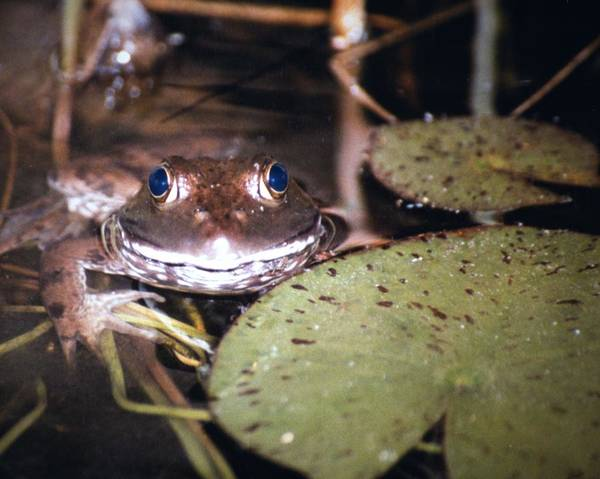 Frog Art Print featuring the photograph Old Blue Eyes by Bob Guthridge