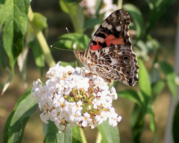 Insects Art Print featuring the photograph Painted Lady by Douglas Egolf