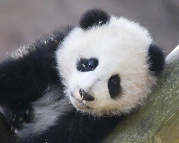 Panda Art Print featuring the photograph Panda Cub by Jerry Weinstein