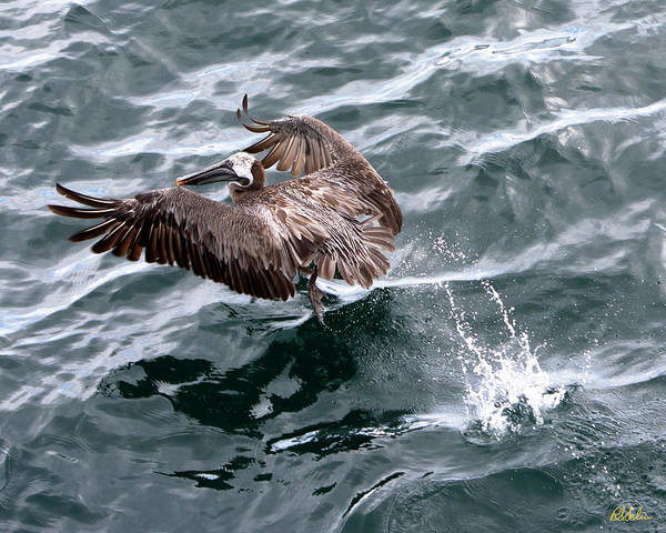 Brown Pelican Art Print featuring the photograph Pelican Takes Off by Robert Selin