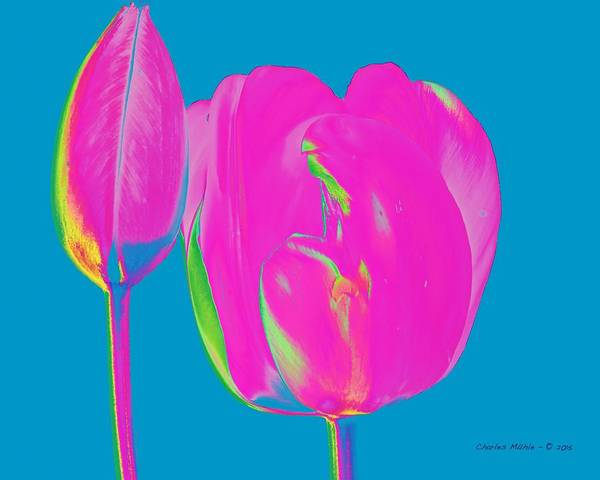 Tulip Art Print featuring the photograph Pop Spring Tulips by Charles Muhle