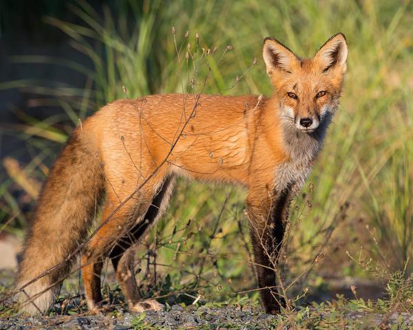 Red Fox Art Print By Bill Wakeley