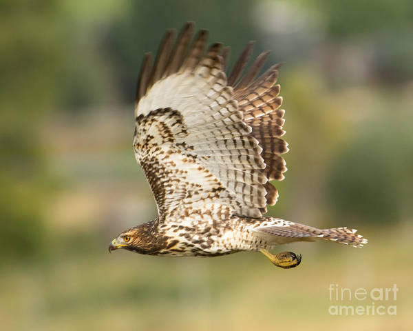 Bird Art Print featuring the photograph Red Tailed Hawk Hunting by Dennis Hammer