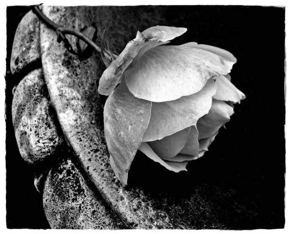 Rose Art Print featuring the photograph Rose In A Birdbath by Patricia Strand
