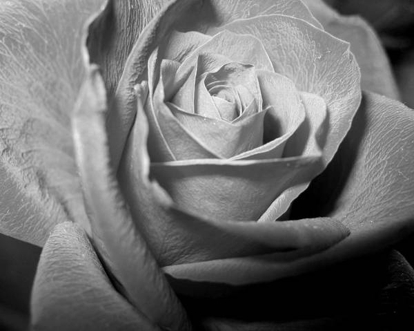 Rose Art Print featuring the photograph Rose by Lindsey Orlando