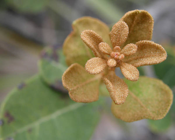 Plant Art Print featuring the photograph Rusty Lyonia by Kimberly Mohlenhoff