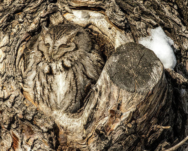 Animal Art Print featuring the photograph Screech Owl In Cavity Nest by Dawn Key