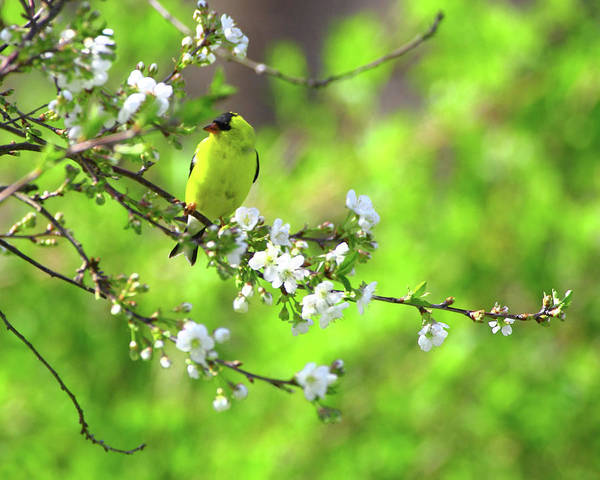 Goldfinch Art Print featuring the photograph Smelling The Cherry Blossom Male American Goldfinch by Herbert L Fields Jr