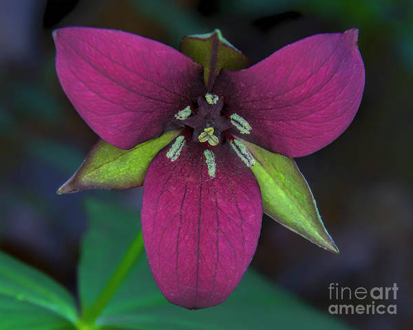 Southern Red Trillium Art Print featuring the photograph Southern Red Trillium by Barbara Bowen