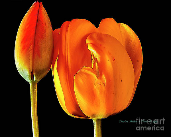 Santa Art Print featuring the photograph Spring Tulips V by Charles Muhle