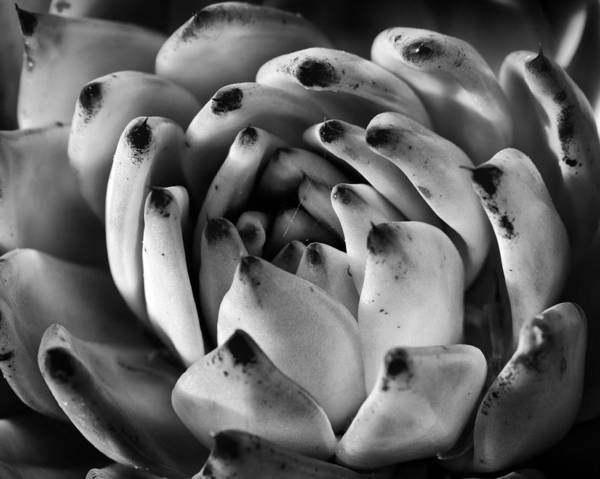 Succulent Art Print featuring the photograph Succulent Petals Black And White by Kelley King