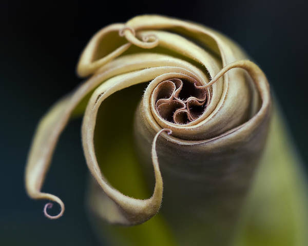 Angel's Trumpet Art Print featuring the photograph Tentacles by Margaret Barry
