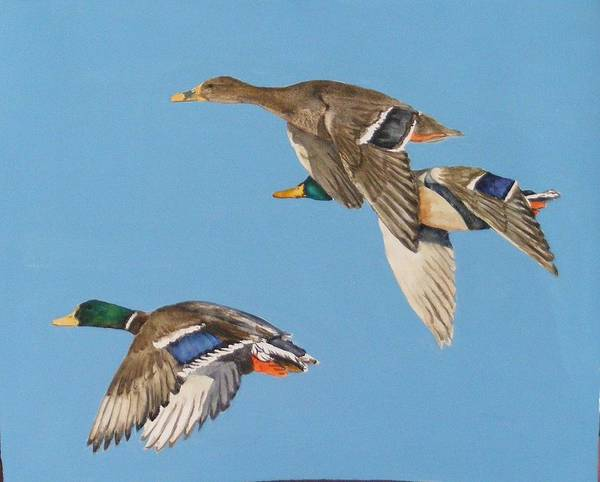 Blue Art Print featuring the painting Three Mallards by Diane Ziemski