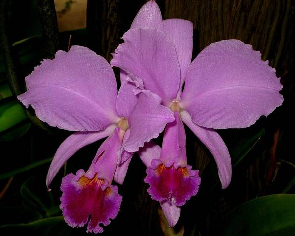 Orchid Art Print featuring the photograph Twins by Betnoy Smith