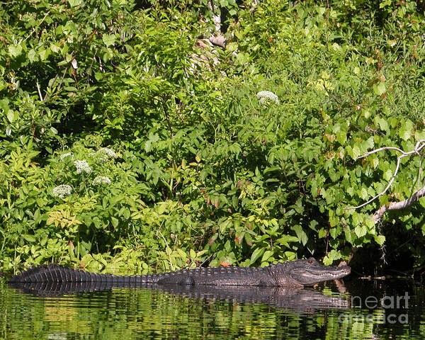 Mississipiensis Art Print featuring the photograph Wall Of Green And Gator by Jack Norton