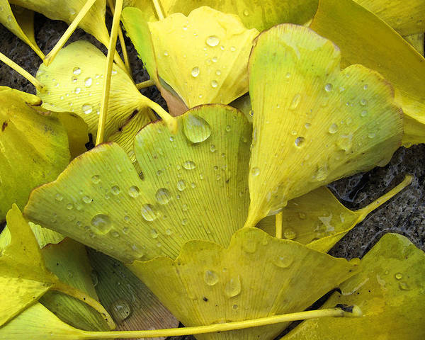 Leaves Art Print featuring the photograph Wet Yellow Leaves 2 Wc by Lyle Crump