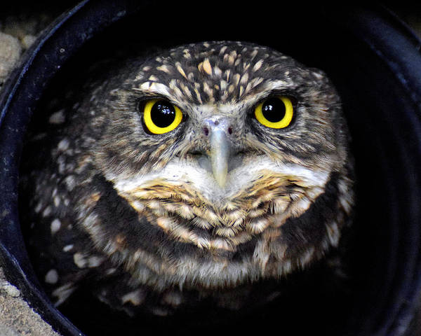 Burrowing Owl Art Print featuring the photograph Who's There? by Shannon Jones