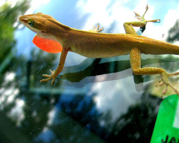 Lizard Art Print featuring the photograph Windshield Walker by Lindsey Orlando