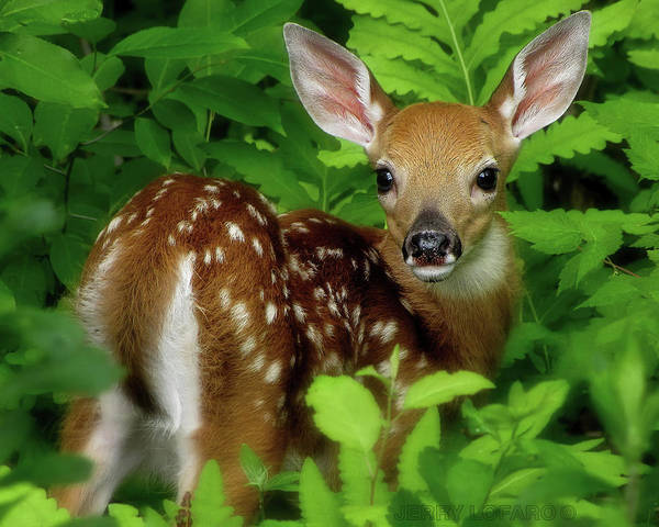 Fawn Art Print featuring the photograph Fawn by Jerry LoFaro