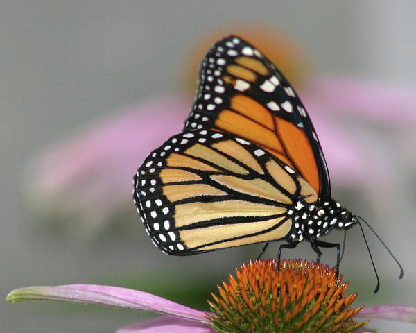 Natural Pattern Art Print featuring the photograph Monarch Butterfly by Wind Home Photography