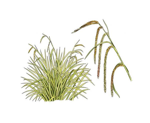 Cutout Print featuring the photograph Pendulous Sedge (carex Pendula) by Science Photo Library