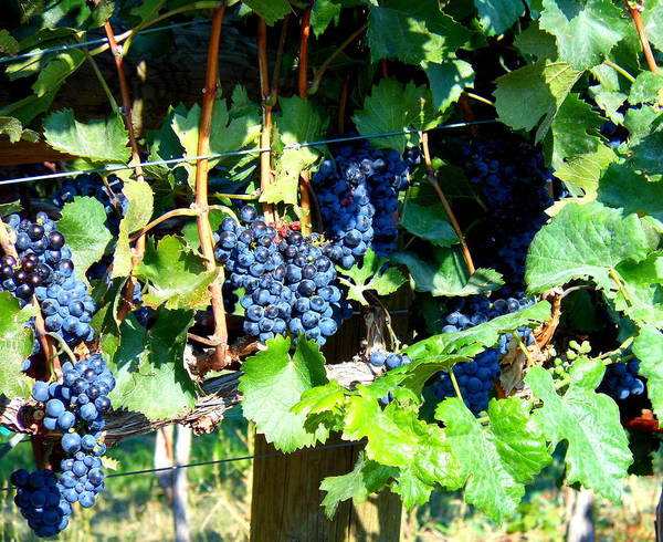 Grapes Art Print featuring the photograph Before The Harvest by Kay Gilley