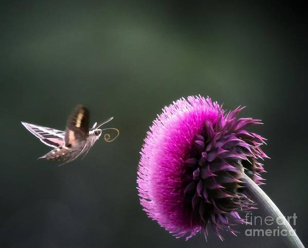 White-lined Sphinx Art Print featuring the photograph Hummingbird Moth by Barbara Chichester